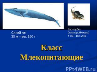 Класс Млекопитающие Синий кит 30 м – вес 150 т Бурозубка (землеройковые) 4 см –