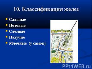 10. Классификация железСальныеПотовыеСлёзныеПахучиеМлечные (у самок)