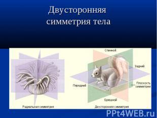 Двусторонняя симметрия тела