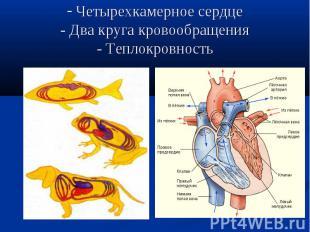 Четырехкамерное сердце- Два круга кровообращения- Теплокровность