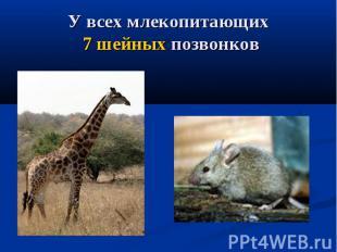 У всех млекопитающих 7 шейных позвонков