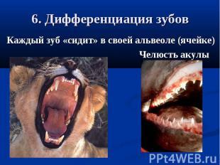 6. Дифференциация зубовКаждый зуб «сидит» в своей альвеоле (ячейке) Челюсть акул