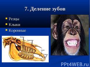 7. Деление зубовРезцыКлыкиКоренные