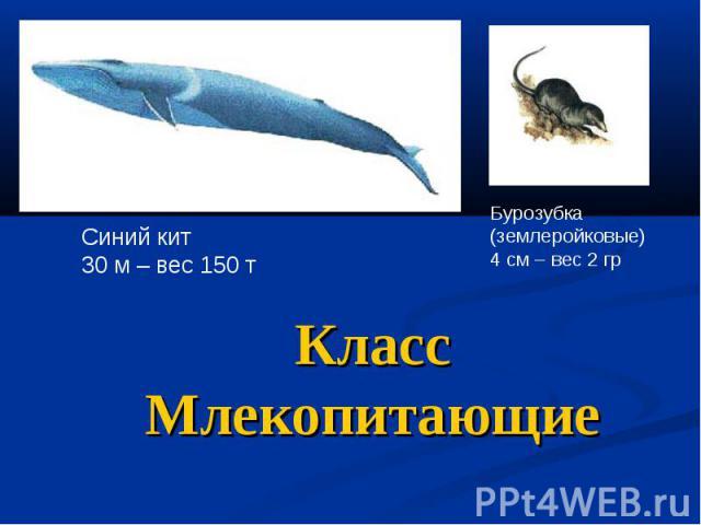 Класс Млекопитающие Синий кит 30 м – вес 150 т Бурозубка (землеройковые) 4 см – вес 2 гр