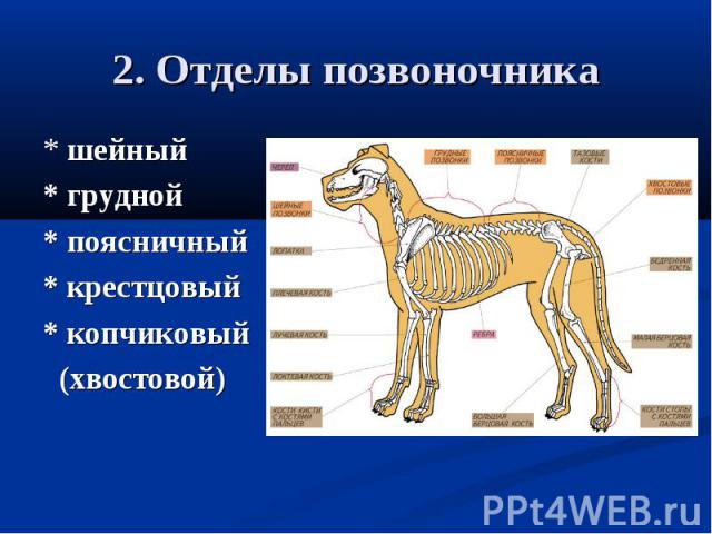2. Отделы позвоночника * шейный* грудной* поясничный* крестцовый* копчиковый (хвостовой)
