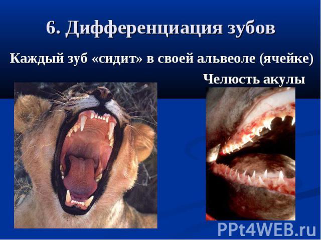 6. Дифференциация зубовКаждый зуб «сидит» в своей альвеоле (ячейке) Челюсть акулы