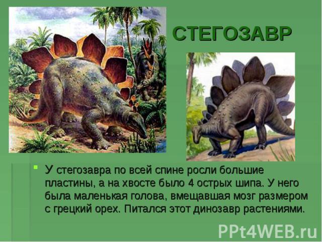 СТЕГОЗАВРУ стегозавра по всей спине росли большие пластины, а на хвосте было 4 острых шипа. У него была маленькая голова, вмещавшая мозг размером с грецкий орех. Питался этот динозавр растениями.