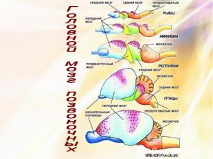 Головной мозг позвоночных