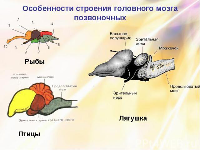Особенности строения головного мозга позвоночных