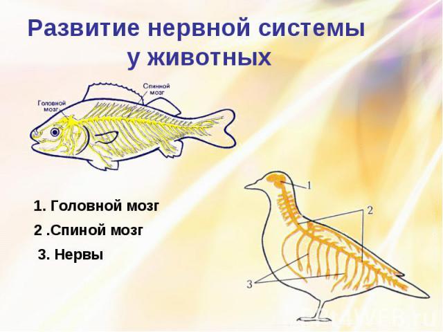 Развитие нервной системы у животных