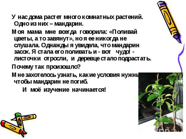 У нас дома растет много комнатных растений. Одно из них – мандарин. Моя мама мне всегда говорила: «Поливай цветы, а то завянут», но я ее никогда не слушала. Однажды я увидела, что мандарин засох. Я стала его поливать и - вот чудо! - листочки отросли…