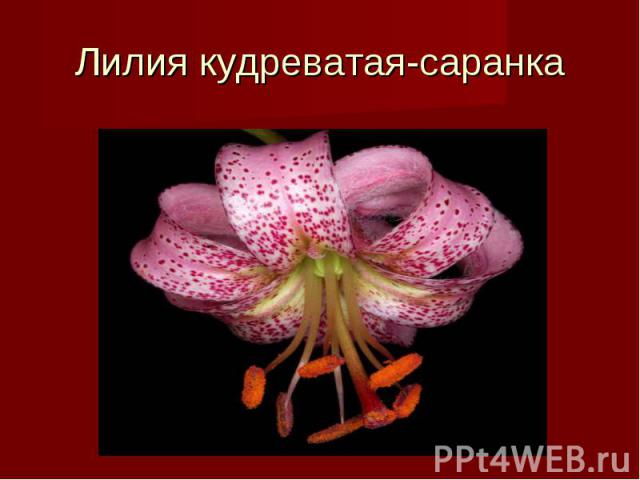 Лилия кудреватая-саранка