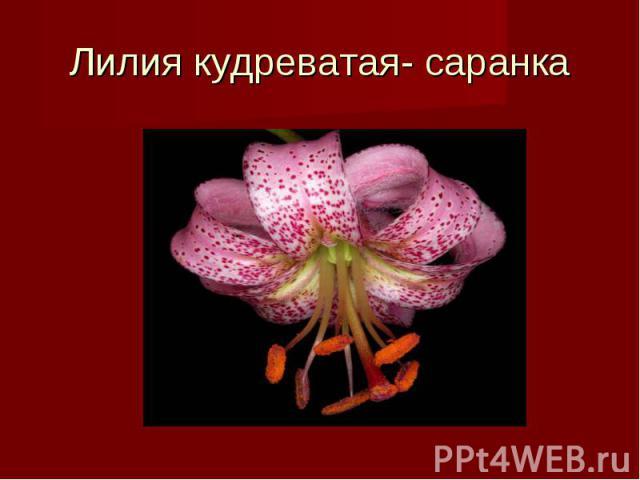 Лилия кудреватая- саранка