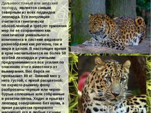 Дальневосточный или амурский леопард, является самым северным из всех подвидов л