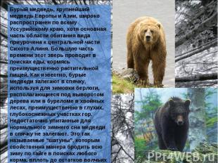 Бурый медведь, крупнейший медведь Европы и Азии, широко распространен по всему У