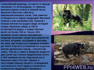 Гималайский медведь, которого в народе называют то белогрудым, то черным, распро