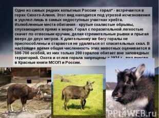 Одно из самых редких копытных России - горал* - встречается в горах Сихотэ-Алиня