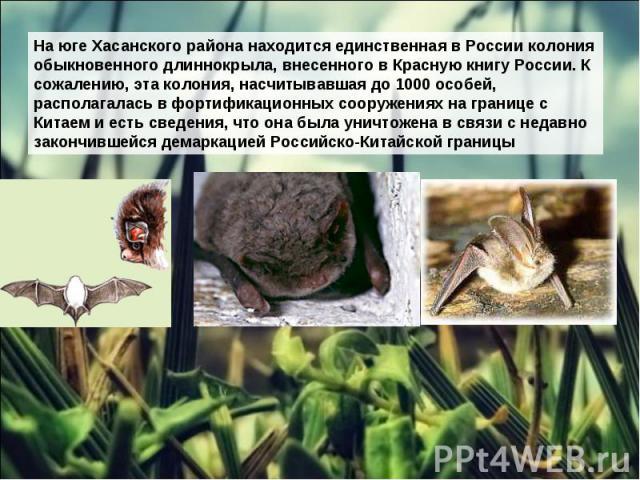 На юге Хасанского района находится единственная в России колония обыкновенного длиннокрыла, внесенного в Красную книгу России. К сожалению, эта колония, насчитывавшая до 1000 особей, располагалась в фортификационных сооружениях на границе с Китаем и…