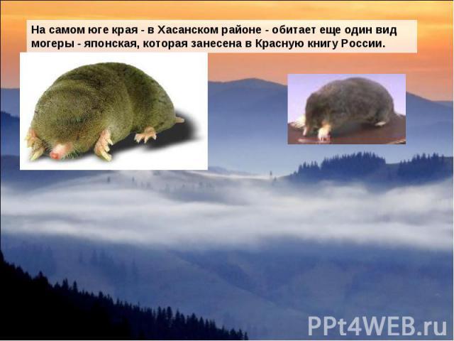 На самом юге края - в Хасанском районе - обитает еще один вид могеры - японская, которая занесена в Красную книгу России.