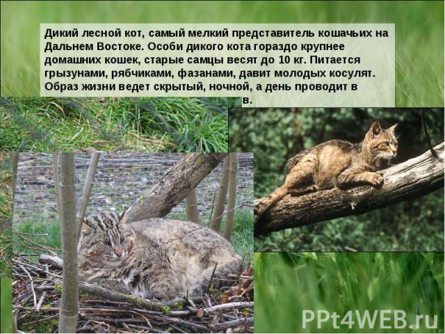 Дикий лесной кот, самый мелкий представитель кошачьих на Дальнем Востоке. Особи дикого кота гораздо крупнее домашних кошек, старые самцы весят до 10 кг. Питается грызунами, рябчиками, фазанами, давит молодых косулят. Образ жизни ведет скрытый, ночно…