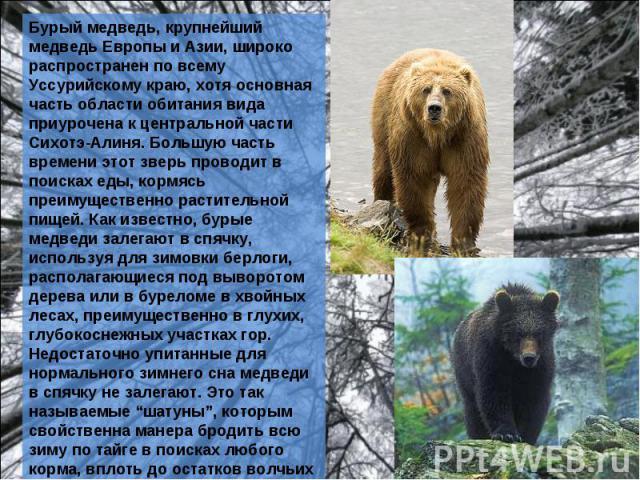 Бурый медведь, крупнейший медведь Европы и Азии, широко распространен по всему Уссурийскому краю, хотя основная часть области обитания вида приурочена к центральной части Сихотэ-Алиня. Большую часть времени этот зверь проводит в поисках еды, кормясь…
