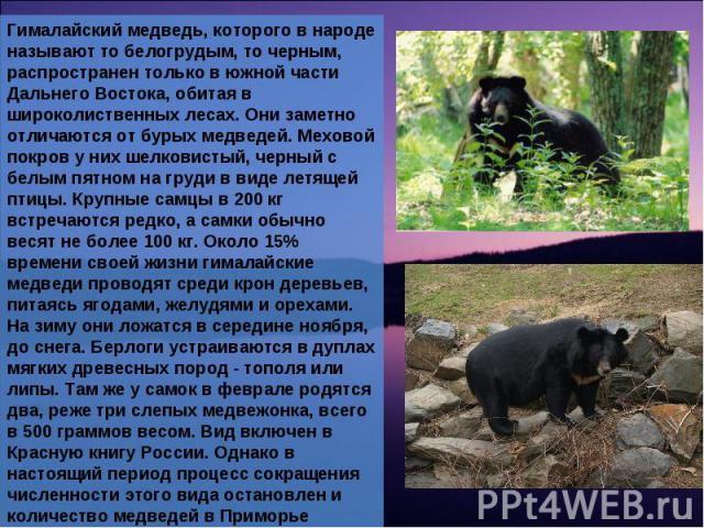 Гималайский медведь, которого в народе называют то белогрудым, то черным, распространен только в южной части Дальнего Востока, обитая в широколиственных лесах. Они заметно отличаются от бурых медведей. Меховой покров у них шелковистый, черный с белы…