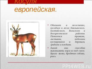 Косуля европейская.Обитает в лесостепях, посадках и лесах Хвалынского, Балтайско