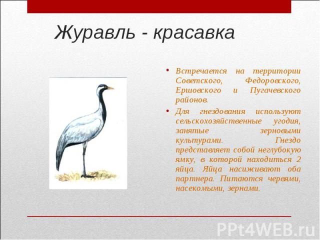 Журавль - красавкаВстречается на территории Советского, Федоровского, Ершовского и Пугачевского районов.Для гнездования используют сельскохозяйственные угодия, занятые зерновыми культурами. Гнездо представляет собой неглубокую ямку, в которой находи…