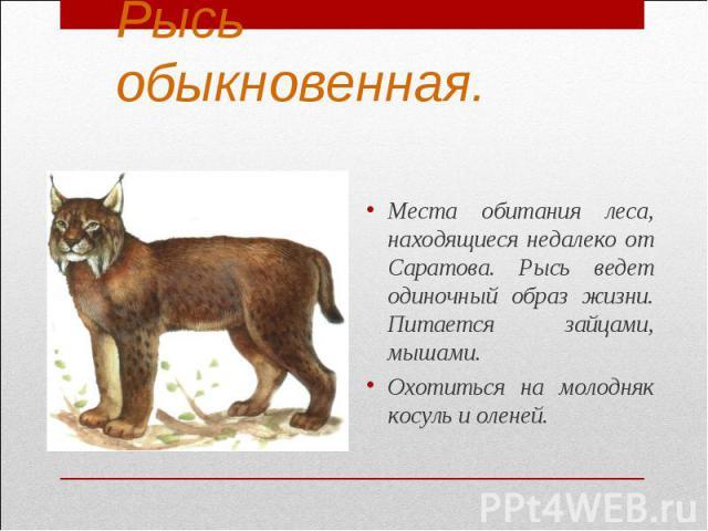 Рысь обыкновенная.Места обитания леса, находящиеся недалеко от Саратова. Рысь ведет одиночный образ жизни. Питается зайцами, мышами.Охотиться на молодняк косуль и оленей.