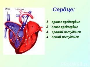 Сердце:1 – правое предсердие2 – левое предсердие3 – правый желудочек4 – левый же