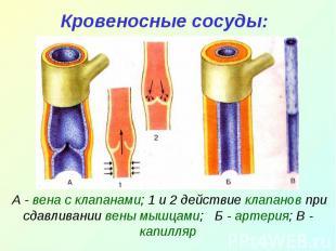 Кровеносные сосуды: А - вена с клапанами; 1 и 2 действие клапанов при сдавливани