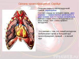 Органы кровообращения. СердцеСнаружи покрыто околосердечной сумкой, перикардом.С