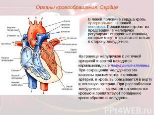 Органы кровообращения. СердцеВ левой половине сердца кровь артериальная, в право