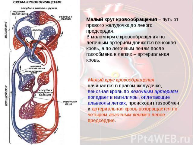 Малый круг кровообращения – путь от правого желудочка до левого предсердия.В малом круге кровообращения по легочным артериям движется венозная кровь, а по легочным венам после газообмена в легких – артериальная кровь.Малый круг кровообращения начина…