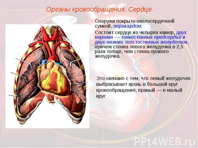 Органы кровообращения. СердцеСнаружи покрыто околосердечной сумкой, перикардом.Состоит сердце из четырех камер, двух верхних — тонкостенных предсердий и двух нижних толстостенных желудочков, причем стенка левого желудочка в 2,5 раза толще, чем стенк…