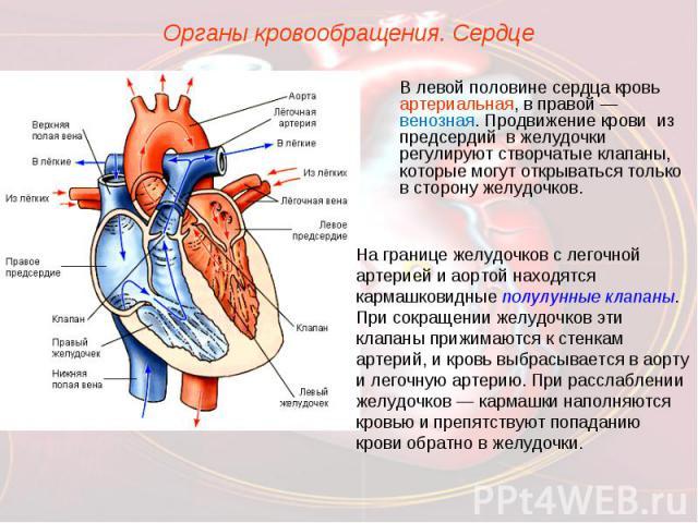 Органы кровообращения. СердцеВ левой половине сердца кровь артериальная, в правой — венозная. Продвижение крови из предсердий в желудочки регулируют створчатые клапаны, которые могут открываться только в сторону желудочков. На границе желудочков с л…