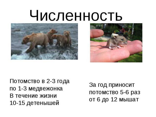 Численность Потомство в 2-3 года по 1-3 медвежонкаВ течение жизни10-15 детенышейЗа год приносит потомство 5-6 раз от 6 до 12 мышат
