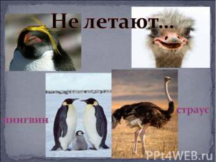 Не летают…пингвинстраус