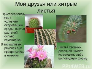 Мои друзья или хитрые листья Приспосаблива-ясь к условиям окружающей среды, лист