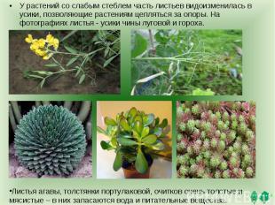 У растений со слабым стеблем часть листьев видоизменилась в усики, позволяющие р
