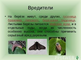 ВредителиНа берёзе живут, среди других, гусеница бражника липового, берёзовая пя