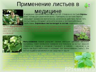 Применение листьев в медицинеВ медецине применяют березовые листья. Отваром из л