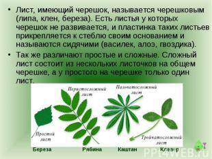 Лист, имеющий черешок, называется черешковым (липа, клен, береза). Есть листья у