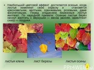 Наибольший цветовой эффект достигается осенью, когда листья изменяют свою окраск