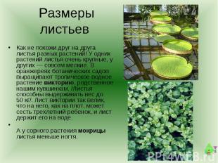 Размеры листьев Как не похожи друг на друга листья разных растений! У одних раст