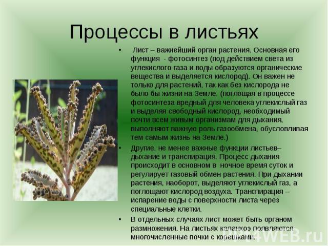 Процессы в листьях Лист – важнейший орган растения. Основная его функция - фотосинтез (под действием света из углекислого газа и воды образуются органические вещества и выделяется кислород). Он важен не только для растений, так как без кислорода не …