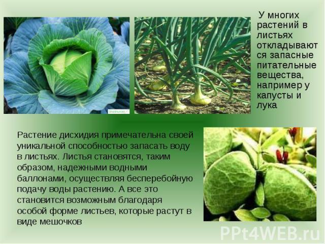 У многих растений в листьях откладываются запасные питательные вещества, например у капусты и лукаРастение дисхидия примечательна своей уникальной способностью запасать воду в листьях. Листья становятся, таким образом, надежными водными баллонами, о…