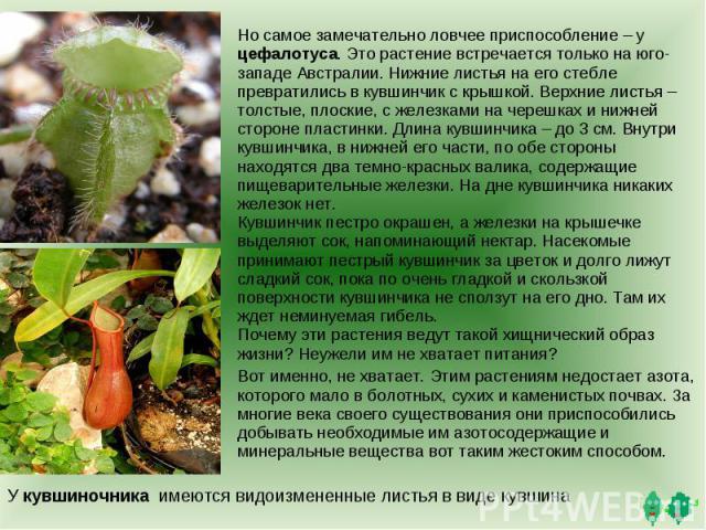 Но самое замечательно ловчее приспособление – у цефалотуса. Это растение встречается только на юго-западе Австралии. Нижние листья на его стебле превратились в кувшинчик с крышкой. Верхние листья – толстые, плоские, с железками на черешках и нижней …