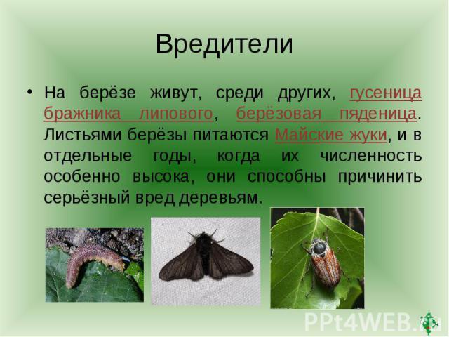 ВредителиНа берёзе живут, среди других, гусеница бражника липового, берёзовая пяденица. Листьями берёзы питаются Майские жуки, и в отдельные годы, когда их численность особенно высока, они способны причинить серьёзный вред деревьям.
