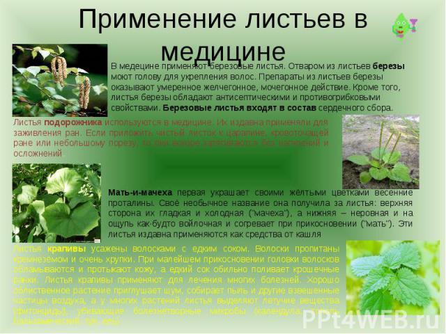 Применение листьев в медицинеВ медецине применяют березовые листья. Отваром из листьев березы моют голову для укрепления волос. Препараты из листьев березы оказывают умеренное желчегонное, мочегонное действие. Кроме того, листья березы обладают анти…